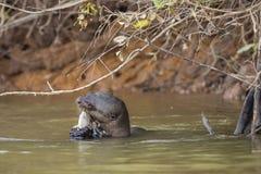 Nutria gigante salvaje que disfruta de una comida de pescados en el río Foto de archivo