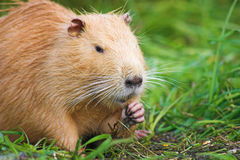 Nutria in the grass Royalty Free Stock Images