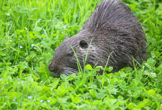 Nutria in the grass. A coypu nutria eating in the grass Royalty Free Stock Image