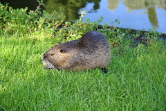 Nutria. In the grass on the shore of a lake Stock Images