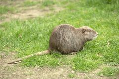 Nutria on green grass Stock Photo