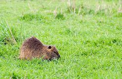 Nutria in Hauula Stock Photos