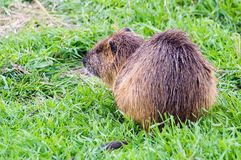 Nutria in Hauula Royalty Free Stock Image