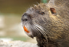 Nutria. Royalty Free Stock Photo