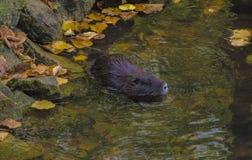 Nutria i vattnet Arkivbild