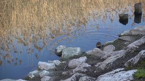 Nutria at the lake stock video footage