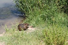 Nutria at Lake Hula, Israel. Nutria at Lake Hula and Nutria swimming in the middle, north of Israel stock photography