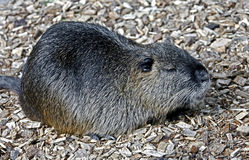 Nutria 6 Royalty Free Stock Photography