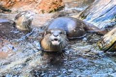 Nutria mammifère Aonix cinerea Photo libre de droits