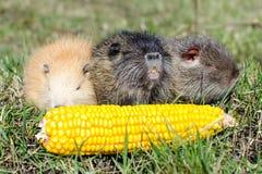 Nutria mangent du maïs Photo libre de droits