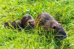 Nutria Mother Royalty Free Stock Photography