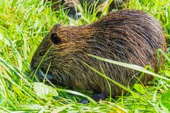 Nutria Mother Stock Image