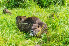 Nutria Mother Royalty Free Stock Photo