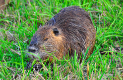 Nutria munching, Ahula, Israel. A Nutria munching on fresh grass stock images
