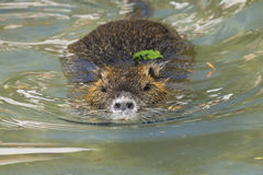 Nutria, myocastor coypus. Swimming at you royalty free stock photography