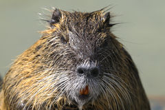 Nutria, myocastor coypus Stock Photos
