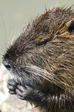 Nutria, myocastor coypus Stock Images