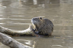 Nutria, myocastor coypus Stock Photo