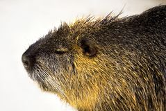 Nutria (Myocastor Coypus) Stockfotos