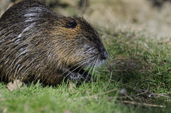 Nutria (Myocastor coypus)  Royalty Free Stock Images