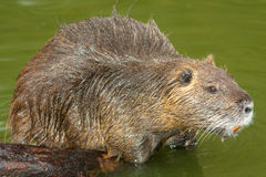Nutria (Myocastor coypus) Stock Photography