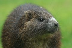 Nutria(Myocastor coypus) Stock Photo