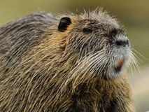 Nutria (Myocastor coypus) Royalty Free Stock Photography