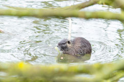 Nutria  (Myocastor coypus) Royalty Free Stock Photo