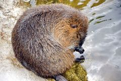 Nutria Myocastor Coypus Caring and Washing itself royalty free stock photos