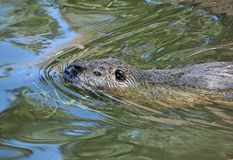 Nutria (Myocastor coypus) in water Stock Photos