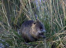Nutria (Myocastor Coypus) Stock Images