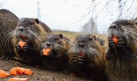 Nutria in nature Stock Photo