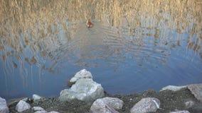 Nutria nel lago archivi video