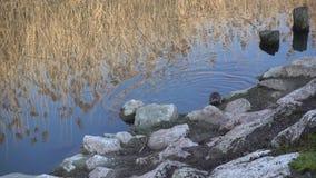Nutria nel lago video d archivio