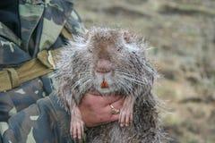 Nutria , or koipu, or swamp beaver stock photos
