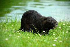 Nutria (nutria Myocaster) Stock Photo