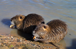 Nutria Stock Photos