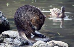 Nutria o coypu mojado después de una nadada en el lago Fotografía de archivo