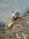 Nutria Photo. Nutria eats on ice. Funny winter photo of nutria royalty free stock photo
