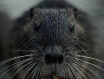Nutria Royalty Free Stock Photography