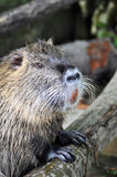 Nutria portrait Royalty Free Stock Photos