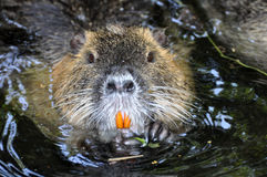 Nutria portrait Stock Photo