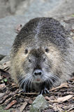 Nutria portrait Stock Photos
