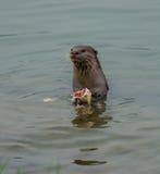Nutria que come pescados Foto de archivo