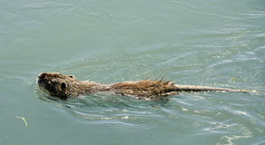 Nutria rat stock photo
