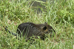 Nutria rat. Cernusco sul Naviglio Mi,Italy, a nutria rat in the Martesana Canal stock photography