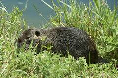 Nutria rat. Cernusco sul Naviglio Mi,Italy, a nutria rat in the Martesana Canal royalty free stock photography