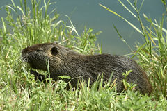 Nutria rat. Cernusco sul Naviglio Mi,Italy, a nutria rat in the Martesana Canal stock photo