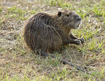 Nutria Royalty Free Stock Images