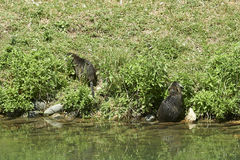 Nutria rats royalty free stock photo
